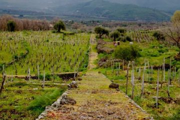 Alice Bonaccorsi's extraordinary 18th century terraced vineyards (Photo Simon Woolf)