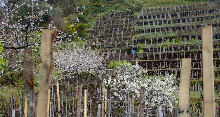 Ciro Biondi's San Nicolo vineyards with Cherry Blossoms (Photo Simon Woolf)